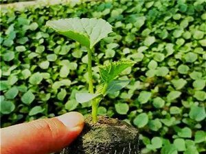 甜瓜生产发育特性描述