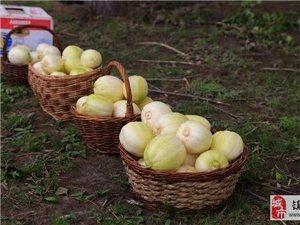 甜瓜养分吸收特点  不同种植模式  生育时期分享