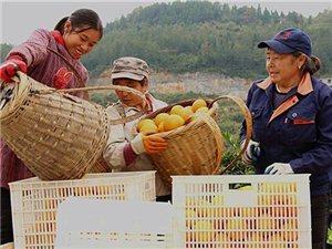 酉阳脐橙丰收 农民致富增收