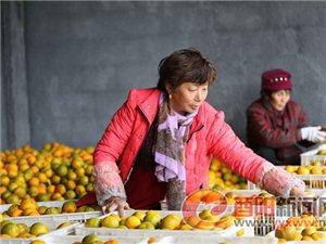 酉水河柑橘进入�摘季