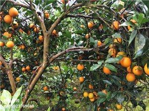 红了!红了!酉水河的柑橘红了!