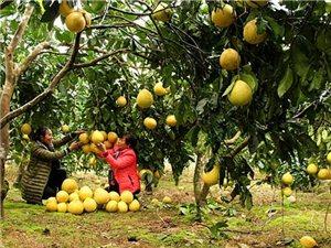 酉阳:柑橘熟了!柚子熟了!果农笑了!