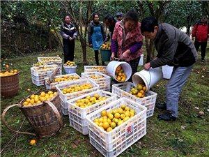 酉�:柑橘熟了!柚子熟了!果�r笑了!