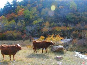 金色秋天——换了彩妆的隰(xi)县石马沟
