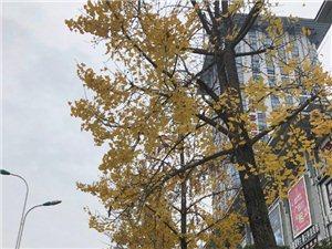 冬天是真的来了,滨江路边的银杏叶都七七八八落的差不多了