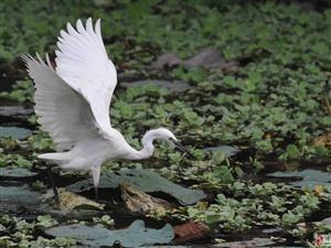 会跳舞的白鹭,摄于澳门金沙线上真人赌博度假村人工湖