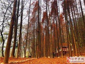 邂逅汉中勉县元墩红杉林,斑斓色彩染透初冬……