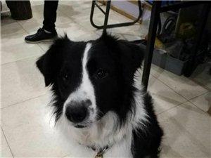寻边牧,狗狗最大的特征就是鼻子白毛不是很匀称