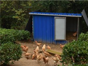 茶叶树下有机鸡