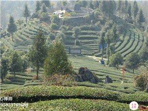 木叶3000亩茶园的冬日风采,值得一看!