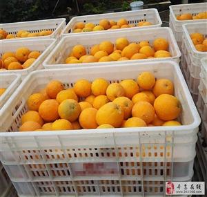 大量脐橙批发,75果占百分之95以上,2.8~3元批发,欢迎前来选购!