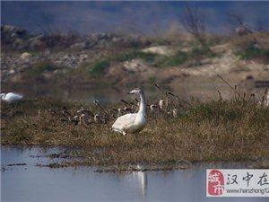 """汉江湿地来了""""新客人""""――"""