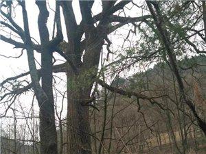 镇巴这棵麻柳树,300岁!