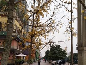 合江银杏树被野蛮破坏