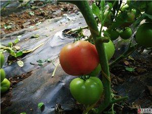 冬暖大棚里的西红柿!
