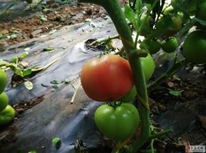 冬暖大棚里的西�t柿!