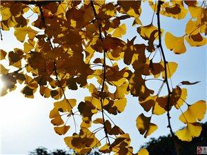 组图:苍溪县城的银杏