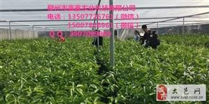 梧州哪里有金秋早熟砂糖桔树苗出售