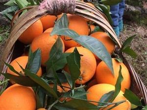 重庆奉节脐橙,纽荷尔,福本成熟啦?