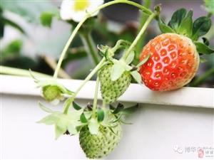 国家级三A级景区打渔张森林公园腹地, 博华海棠乐园的草莓正在・・
