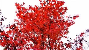 再赏水源红枫叶