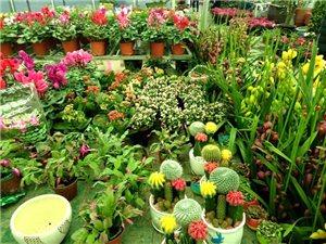 赶集逛花市,冬天的花儿也开得如此娇艳!切整两盆摆家里头,安逸得很