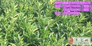 来宾纽荷尔脐橙苗价格多少钱