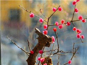 自己培养盆景梅花