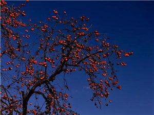 山上的柿子红了,