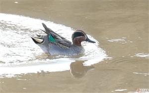 叶柏寿第一次发现绿翅鸭