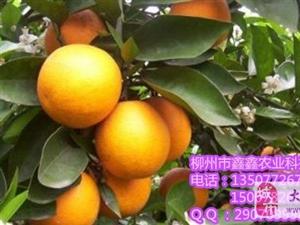 贺州血橙树苗具体价格多少钱一株