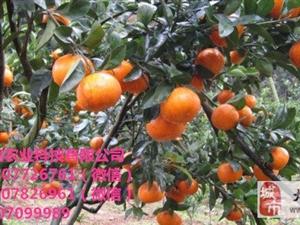 贺州世纪红柑橘营养杯苗多少钱一棵