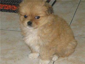 求鉴定,这只小狗是什么品种,比较喜欢