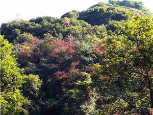 满山枫叶映金山 林木茂密景色美