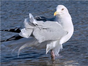 浴后的蒙古银鸥