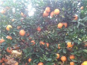 吉潭山上3万多斤脐橙出售,果均匀,皮装红靓,无沙皮