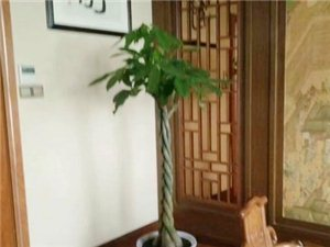 辫子发财树-广汉市华亮园艺种植场推荐室内摆放绿植(图片)