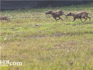 围观民间养狗爱好者狗撵兔子比赛