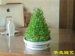 在广汉,租盆景,搞绿化,找华亮园艺,适合桌面的绿植-富贵塔(图片)