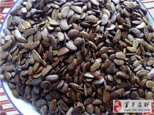 陕西富平软枣种子价格 软枣子多少钱一斤