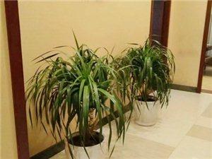华亮园艺推荐茶楼、会所、酒店、售楼部等场所室内观叶植物-龙血树