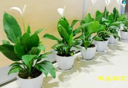 广汉市华亮园艺种植场推荐亲们一种适合室内摆放的植物-白掌