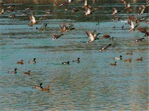 约万只野鸭在鸭子河集会