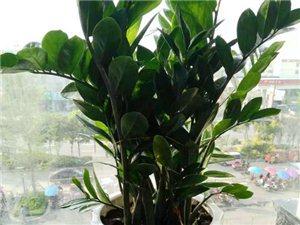 广汉本土专业盆景租赁,我们只租不卖-广汉华亮园艺金钱树