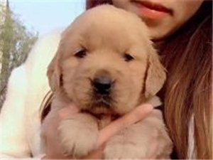 爱宠人士对宠物有着不同的感受,有这么一种宠物―金毛,好养又不贵!