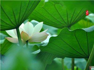 中国茶城――云南普洱(茶乡荷韵 )之二