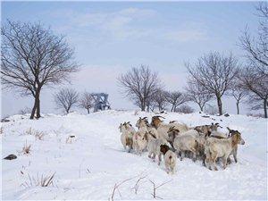 雪地里的羊群