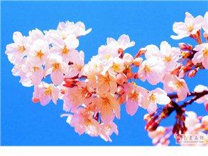 三月末,西藏林芝桃花,快�斫M��Y伴!