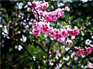三月末,西藏林芝桃花,快来组队结伴!