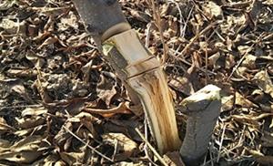 20亩果园一夜被砍光